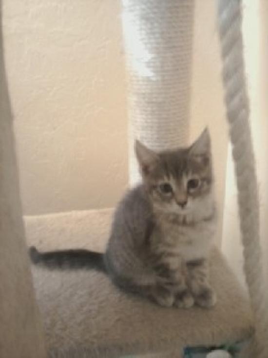 grey-kitten-angel